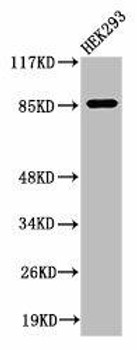 Cleaved-MPO A49 Antibody PACO00055