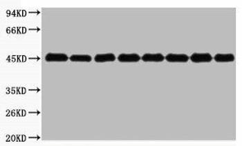 Plant-actin Antibody PACO00085