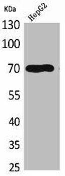 GPC3 Antibody PACO01919