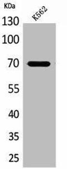 KEAP1 Antibody PACO01930