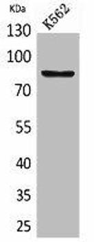 MMP9 Antibody PACO02045