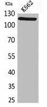 NLRP3 Antibody PACO02069