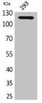 ATP2A2 Antibody PACO02127