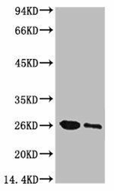 Anti-GFP Antibody MACO0093