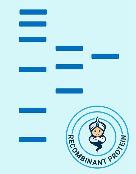 Human CD43 Recombinant Protein hFc Tag HDPT0476