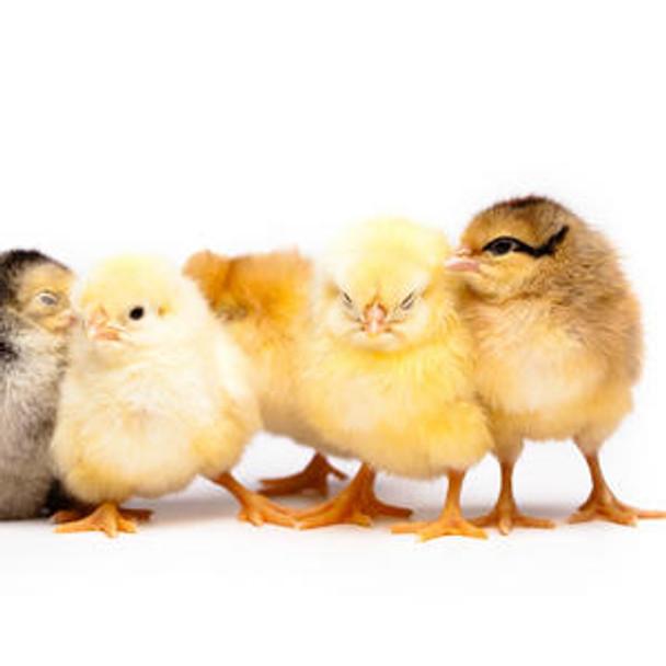 Chicken Immunology ELISA Kits Chicken Histamine HIS ELISA Kit