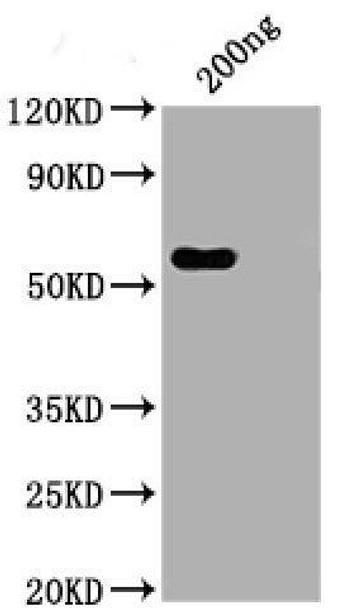 Anti-Nucleocapsid Antibody - Monoclonal