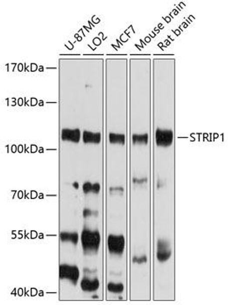 Cell Biology Antibodies 1 Anti-STRIP1 Antibody CAB10334