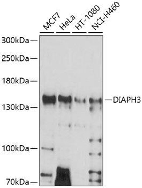 Cell Biology Antibodies 1 Anti-DIAPH3 Antibody CAB10351
