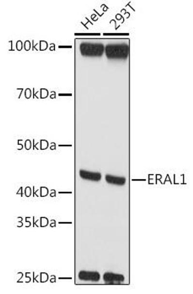 Cell Biology Antibodies 1 Anti-ERAL1 Antibody CAB10382