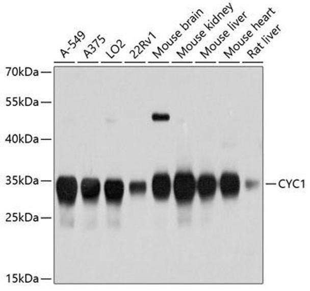 Cell Biology Antibodies 1 Anti-CYC1 Antibody CAB10449