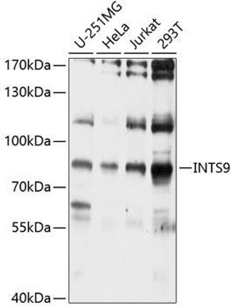 Cell Biology Antibodies 1 Anti-INTS9 Antibody CAB10480
