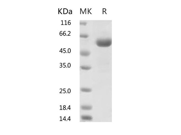 Recombinant 2019-nCoV Spike Protein RBD, mFc TagV367F