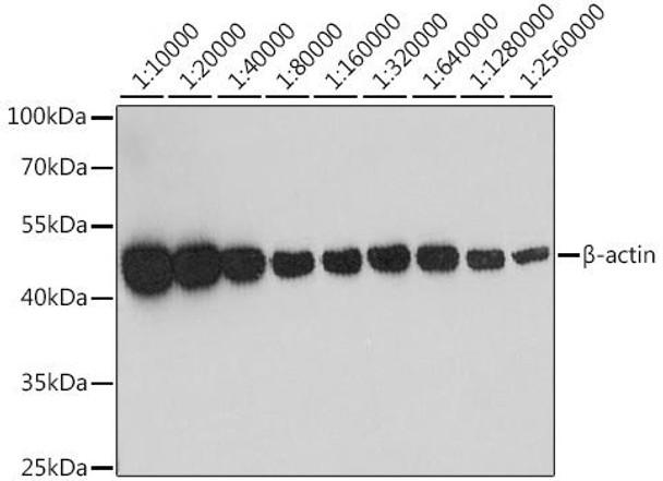 Loading Controls Anti-Beta Actin Mouse Monoclonal Antibody CABC004