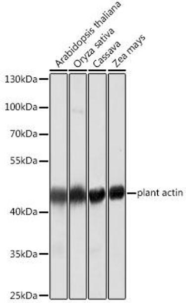 Cell Biology Antibodies 16 Anti-Plant actin Mouse Monoclonal Antibody CABC009