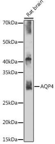 Signal Transduction Antibodies 3 Anti-AQP4 Antibody CAB11210