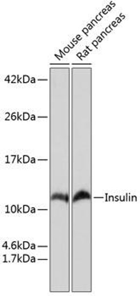 Metabolism Antibodies 3 Anti-Insulin Antibody CAB19066