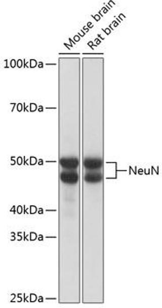 Epigenetics and Nuclear Signaling Antibodies 5 Anti-NeuN Antibody CAB19086