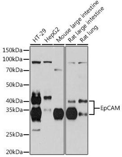 Cell Biology Antibodies 17 Anti-EpCAM Antibody CAB19301