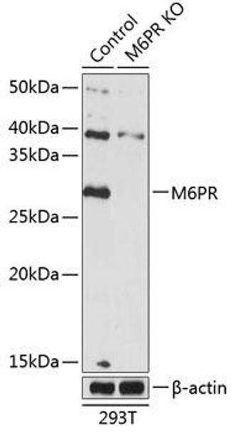 KO Validated Antibodies 2 Anti-M6PR Antibody CAB19907KO Validated