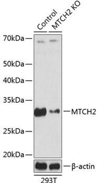 KO Validated Antibodies 2 Anti-MTCH2 Antibody CAB19922KO Validated