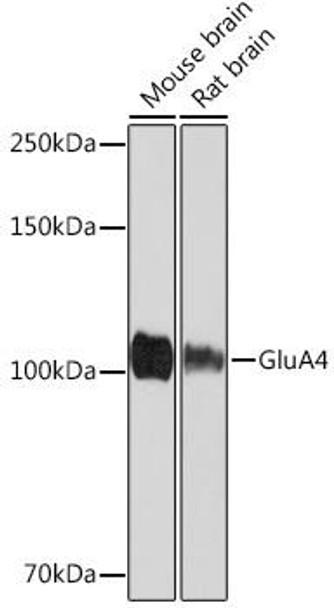 Signal Transduction Antibodies 3 Anti-GluA4 Antibody CAB4593