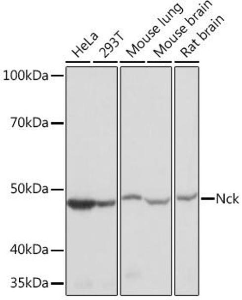 Signal Transduction Antibodies 3 Anti-Nck Antibody CAB9129