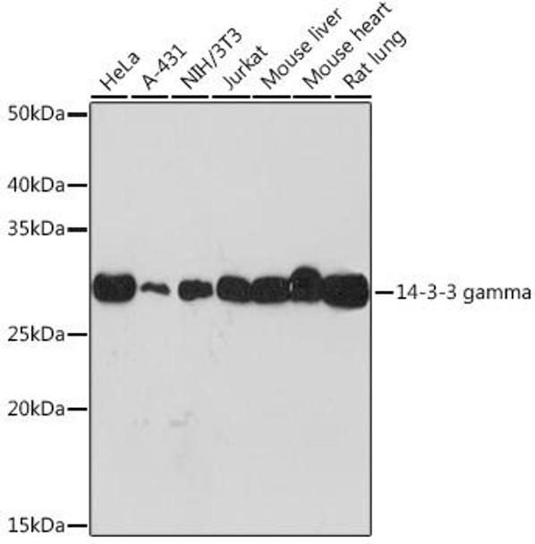 Cell Biology Antibodies 17 Anti-14-3-3 gamma Antibody CAB9162