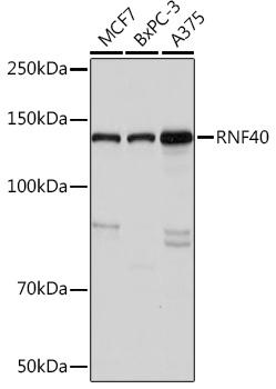 Anti-RNF40 Antibody (CAB9598)