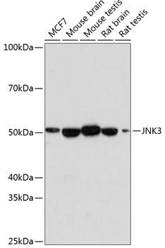 JNK3 Rabbit Monoclonal Antibody (CAB19075)