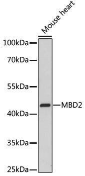 MBD2 Rabbit Polyclonal Antibody