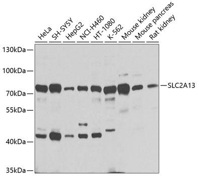 Anti-SLC2A13 Polyclonal Antibody (CAB9993)