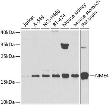 NME4 Polyclonal Antibody (CAB8350)