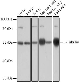 Alpha-Tubulin Rabbit Polyclonal Antibody (CABC031)