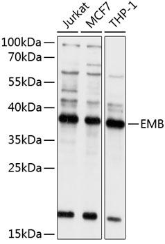 Anti-EMB Antibody (CAB10423)