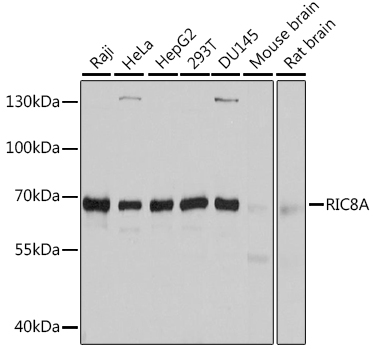 Anti-RIC8A Antibody (CAB10393)