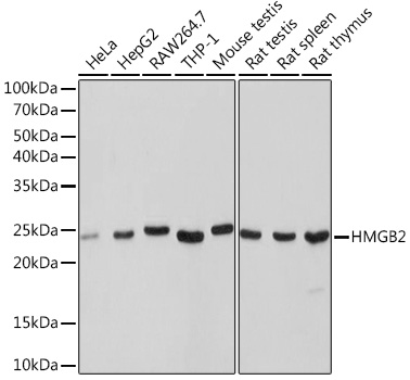 Anti-HMGB2 Antibody (CAB9168)