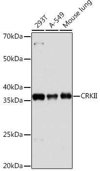 Anti-CRKII Antibody (CAB9577)