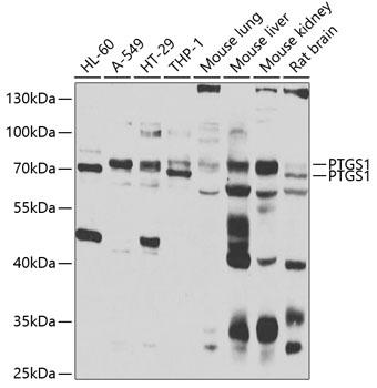 PTGS1 Rabbit Polyclonal Antibody (CAB7341)
