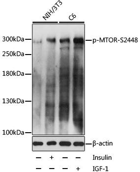 Phospho-mTOR-S2448 pAb (CABP0094)