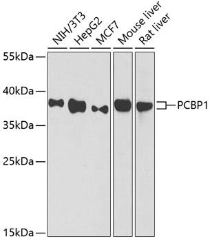 PCBP1 Rabbit Polyclonal Antibody (CAB1044)
