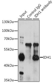 [KO Validated] IDH1 Rabbit Polyclonal Antibody (CAB13245)