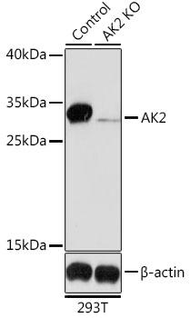 Anti-AK2 Antibody [KO Validated] (CAB6519)