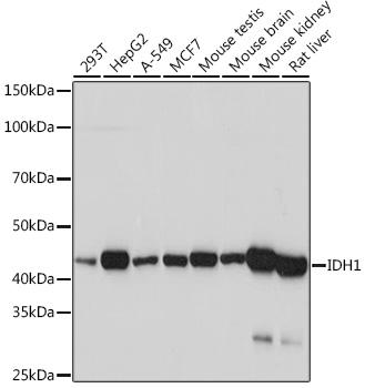 IDH1 Rabbit Monoclonal Antibody (CAB5106)