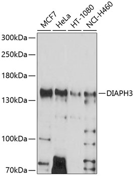 Anti-DIAPH3 Antibody (CAB10351)