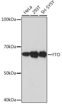FTO Rabbit Monoclonal Antibody (CAB3861)