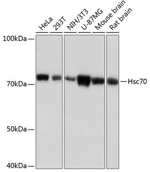 Hsc70 Rabbit Monoclonal Antibody