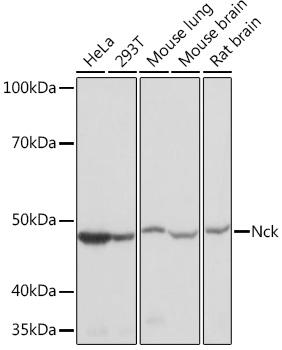 Anti-Nck Antibody (CAB9129)