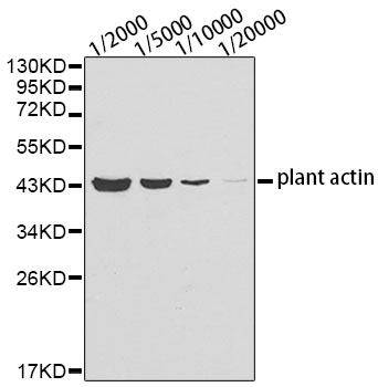 Anti-Plant actin Mouse Monoclonal Antibody (CABC009)
