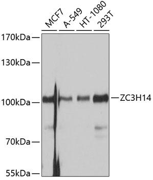 Anti-ZC3H14 Antibody (CAB10364)